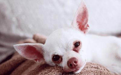 Ontdek alle kenmerken van de Chihuahua
