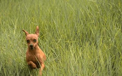 Chihuahua langharig