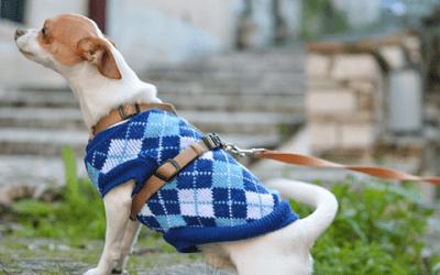 Een Chihuahua herplaatsen