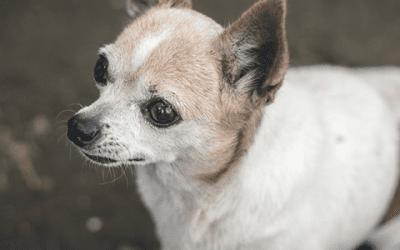 De leeftijd van een Chihuahua